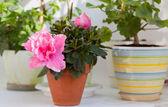 Blossoming pink azalea — Stock Photo