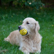 Golden retriever holds a toy — Stock Photo #58799989