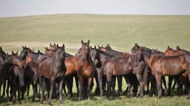 Herd of horses — Vídeo de stock