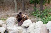 Two big brown bears — Stock Photo
