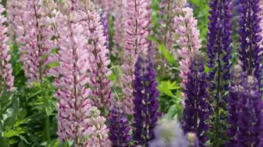 Pink and violet lupines — Stock Video