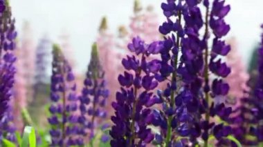 Blossoming purple lupines — Stock Video