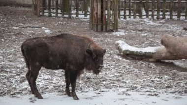 Bison at winter zoo — Stock Video