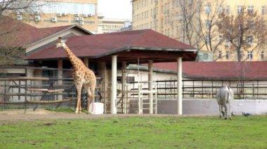 Giraffe and zebra in zoo — Stock Video