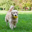 Golden retriever with toy — Stock Photo #66300601