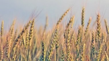 Ears of ripening wheat — Stock Video