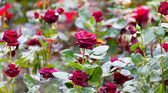 Bush of blossoming red roses — Stock Photo