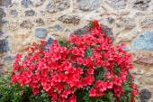 Big bush of red azalea — Stock Photo