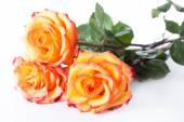Three yellow roses — Stock Photo
