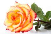 Yellow rose on white — Stockfoto