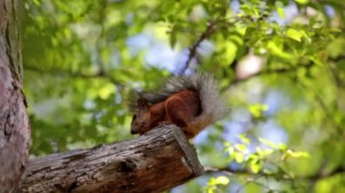 Fluffy red squirrel — Stock Video