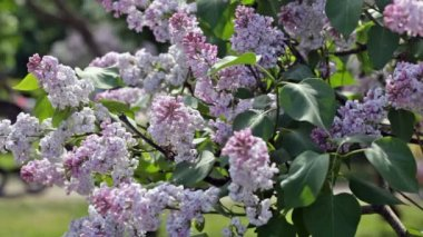 Branch of blossoming lilac — Vídeo de stock