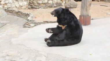 Himalaya bear in zoo — Stock Video