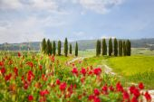 Landscape with cypresses and bright red flowers — Stock Photo