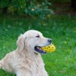 Dog a golden retriever with a toy — Stock Photo #74116723
