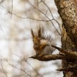Squirrel sits on a branch — Stock Photo #74772163