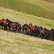 Herd of horses on a summer pasture — Stock Photo #78807810