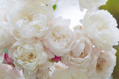 Blossoming white roses — Stock Photo
