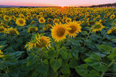 Field of the blossoming sunflowers — Stock Photo