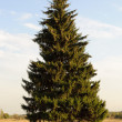 Single fir tree on the meadow — Stock Photo #58391209