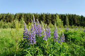 Blooming lupines in the woods — Stock Photo