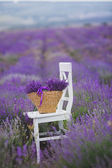Fragrant blooming lavender in a basket on a lavender field. — Stock Photo