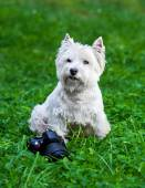West Highland White Terrier and camera — Stock Photo