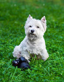 West Highland White Terrier and camera — Zdjęcie stockowe