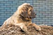 Puppy breed Tibetan Mastiff — Stock Photo