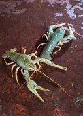 Two live crayfish — Stock Photo