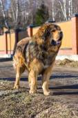 Dog breed Tibetan Mastiff — Stok fotoğraf