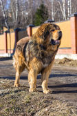 Dog breed Tibetan Mastiff — Stock Photo
