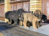 Puppies breed Tibetan Mastiff — Stock Photo