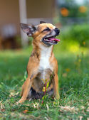 Doggie Chihuahua — Stock Photo
