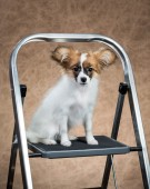 Papillon puppy sitting on a stepladder — Stock Photo