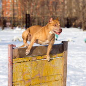 American Pit Bull Terrier jumps over hurdle — Stock Photo