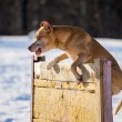 American Pit Bull Terrier jumps over hurdle — Stock Photo #68173337