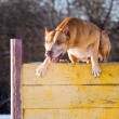 American Pit Bull Terrier jumps over hurdle — Stock Photo #68173369