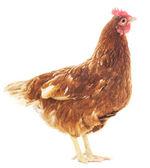 Brown hen — Stock Photo