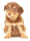 Baby Puppy — Stock Photo