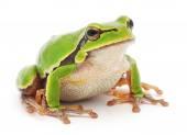 Tree frog — Stock Photo