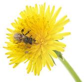 Honeybee and yellow flower — Stock Photo