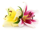 Two lilies. — Stock Photo