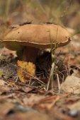 Large  mushroom porcini — Stock Photo