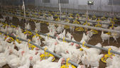 Chicken . Poultry farm — Stock Photo