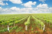 Vineyard summer landscape — Stock Photo