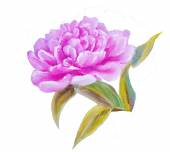Peony isolated on white, oil painting — Stock Photo