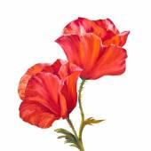 Poppy isolated on white, oil painting — Foto de Stock