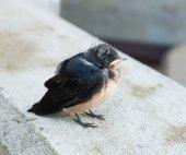 Yellow-beaked nestling swallows — Stock Photo