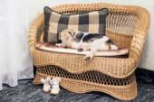 Fox Terrier lying on couch — Stock Photo